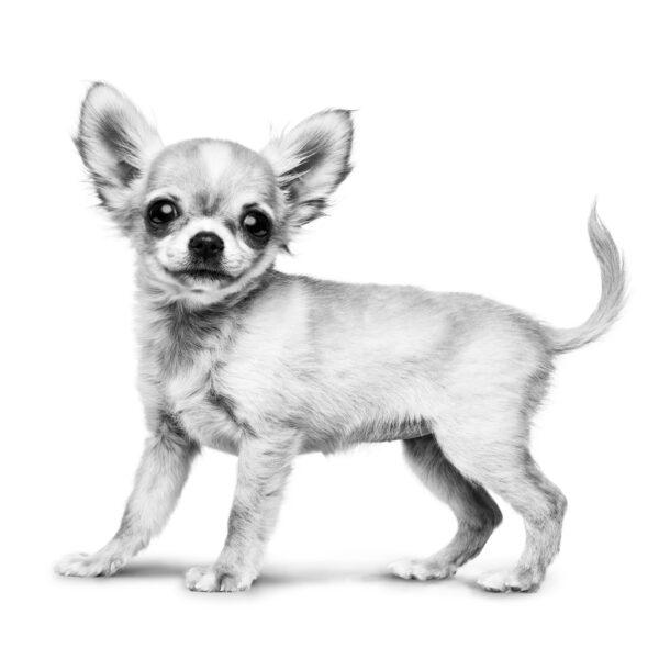 Chihuahua Чихуахуа