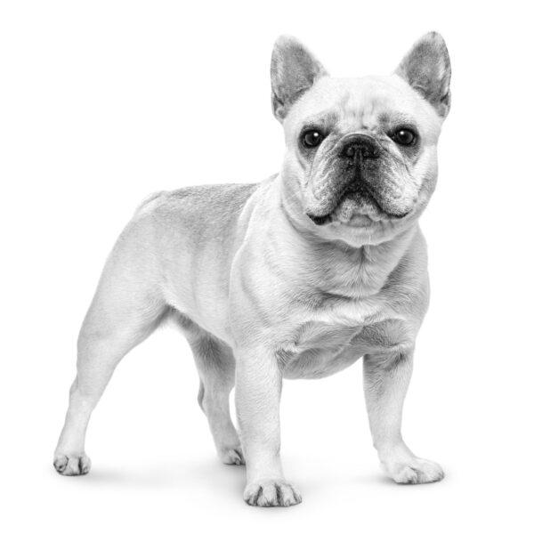 French Bulldog Французский бульдог