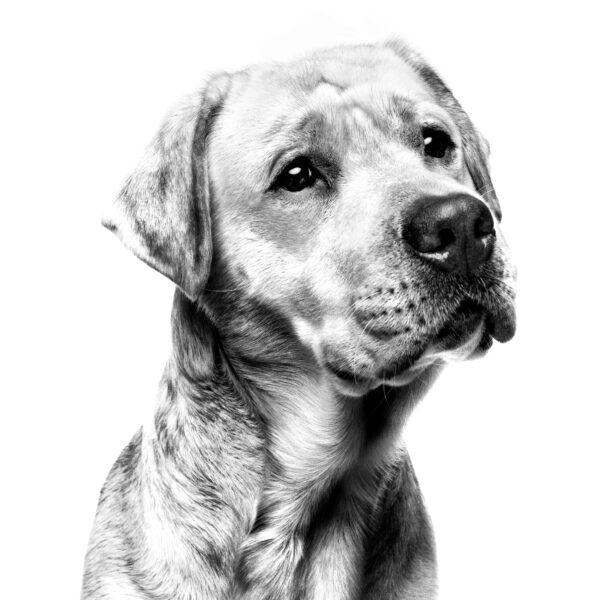 Labrador Лабрадор-ретривер