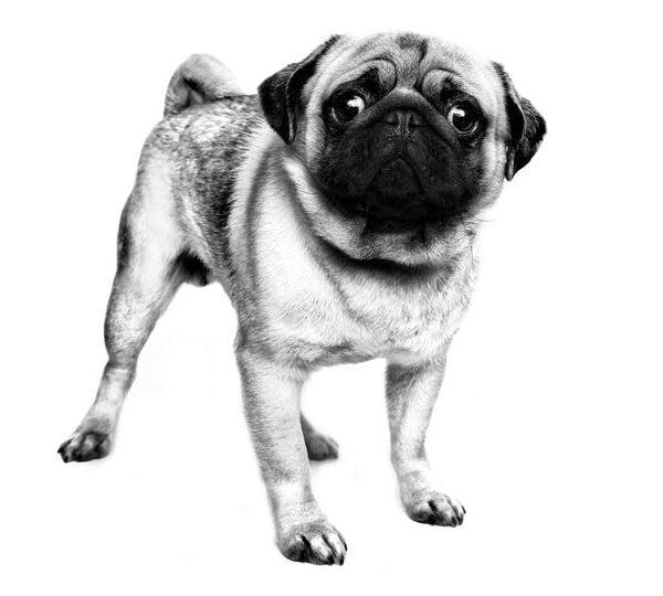 Pug мопс