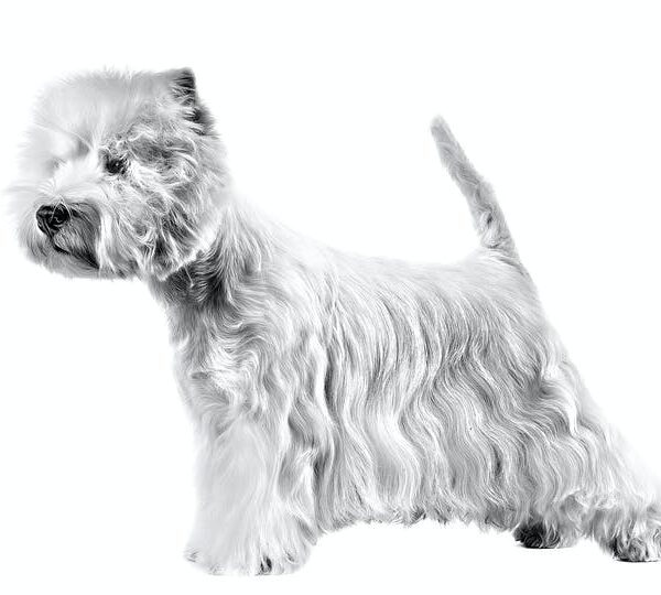 West Highland White Terrier Вест-хайленд-уайт-терьер